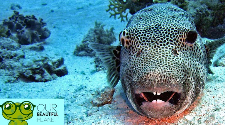 Puffer Fish Facts The Ultimate Puffer Fish Guide