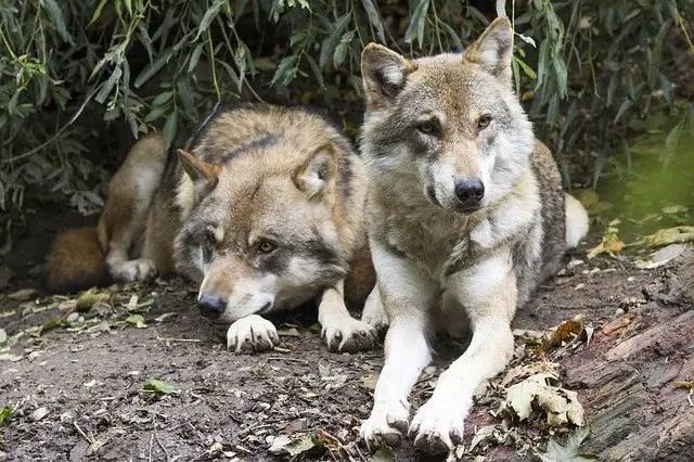 Wolves Resting