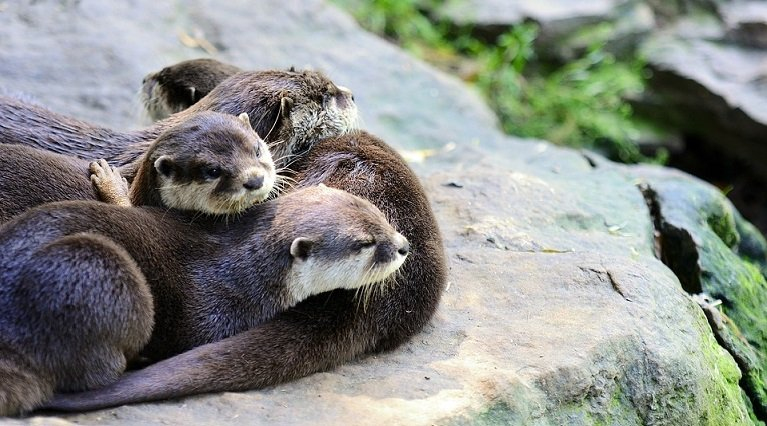 Facts about river otters