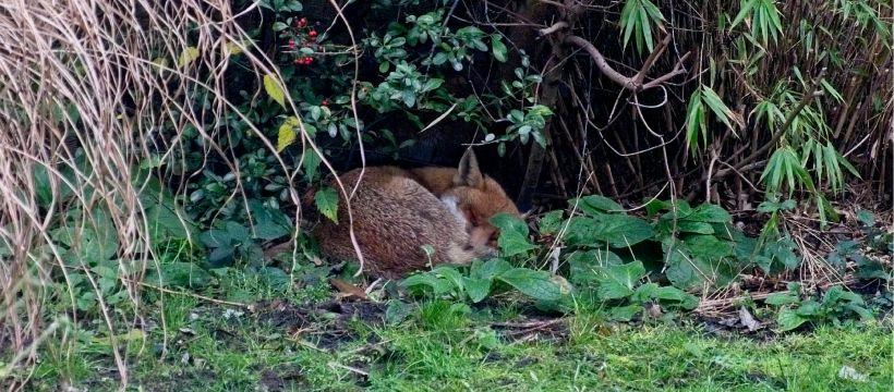 Fox sleeping in back garden Bow, London, E3