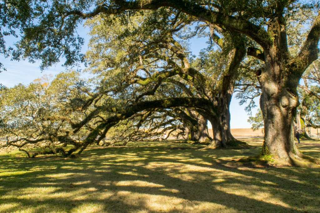 3 Days in New Orleans Itinerary: Oak Trees