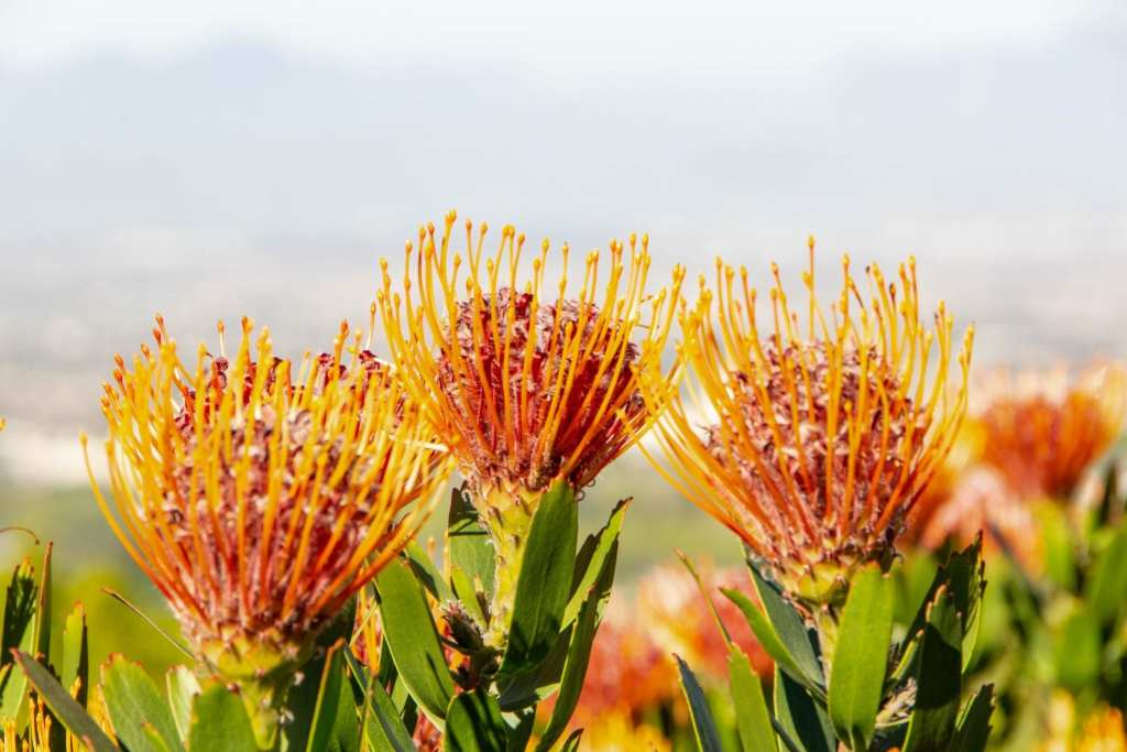 South Africa Packing List: Orange Flowers
