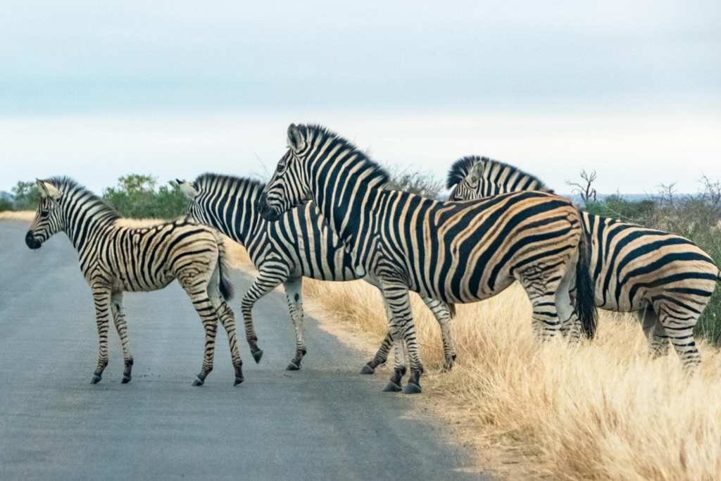 Packing List for South Africa: Zebras Crossing Road