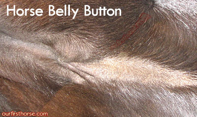 Horse Belly Button