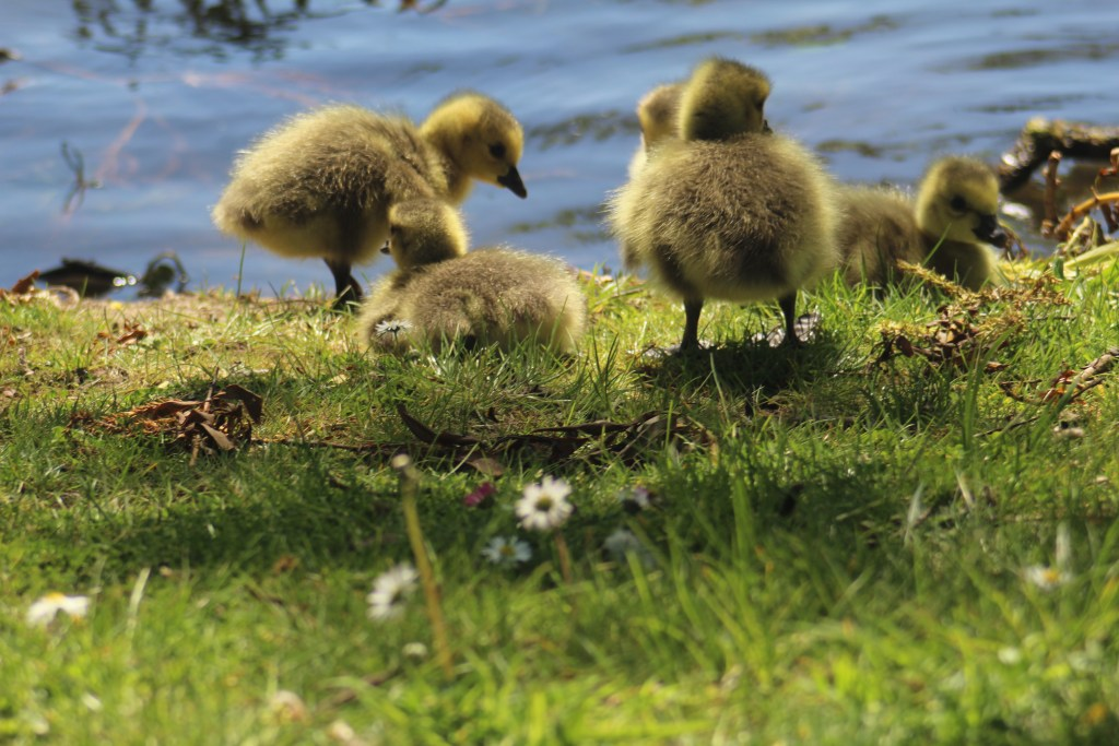 Baby Canada geese born in May by Fidelma Fitzgerald 2