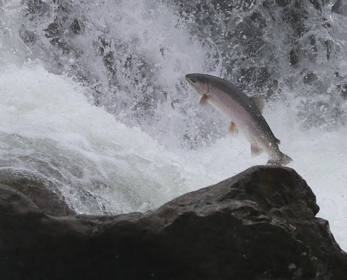 Salmon Jumping in the Moricetown Canyon, BC