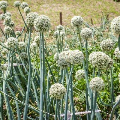 Fall Gardening: Growing Garlic