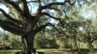 Dade State Park, ancient oaks