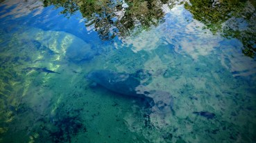 Manatees at the Blue Spring State Park, Florida