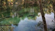 Nearly 300 manatees were in the Blue Springs Run downstream from the 70F degree water.