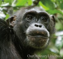 Disneynature Chimpanzee Isha