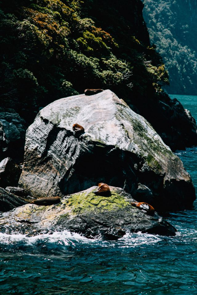 5 seals catch some sun on a rock - Milford Sound itinerary
