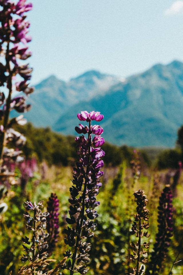 A handful of lupins remain in the field at the end of summer - Milford Sound itinerary