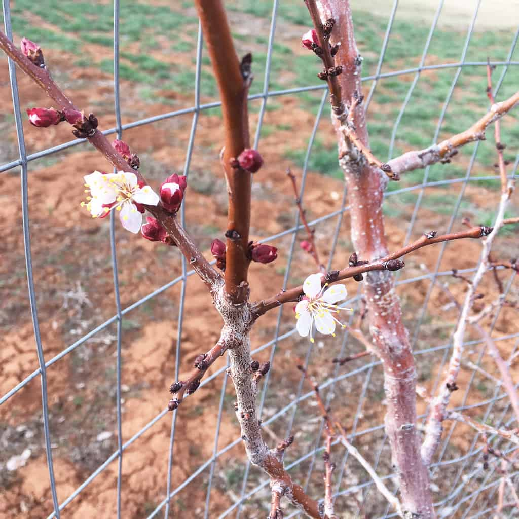 Do you love the idea of overflowing fruit trees in your own orchard? Planting fruit trees and orchard care takes time and effort, but it will be worth it. Orchard Care | Fruit Trees | Homestead Orchard