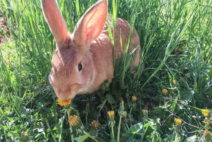 Have you thought about adding meat rabbits to your homestead? We discuss what you need to start with meat rabbits on your homestead now. Meat Rabbits | Rabbit Care | Raising Rabbits