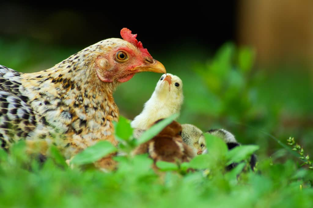 Are you thinking of adding laying hens to your homestead? We answer 10 questions about how to take care of your laying hens for optimal health. Raising laying hens | Chicken Care | Backyard Chickens