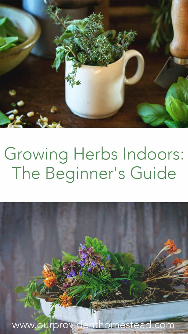 Do you grow herbs indoors in the winter? Click here for a list of herbs for growing indoors, in containers in your kitchen window for beginners that want to use herbs for medicinal or cooking purposes. #herbs #kitchengarden #gardening #herbgarden