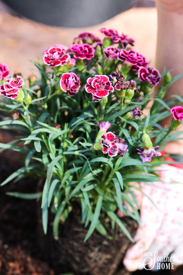 Getting the backyard ready for spring with plants from Monrovia #ad {Monrovia Spring Plantings}
