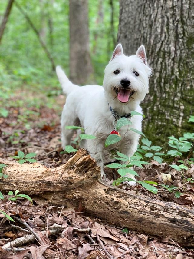 dog walking on a log