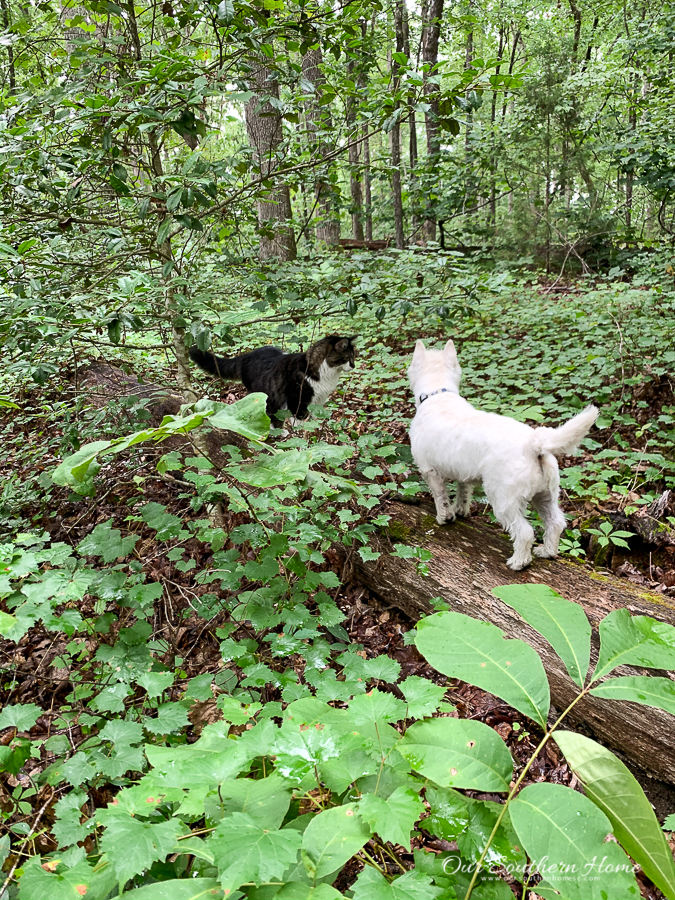 dog and cat on a hike