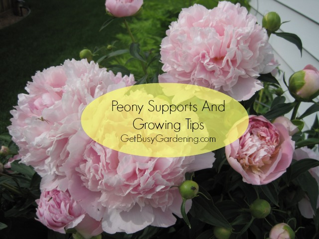 Peony Supports And Growing Tips