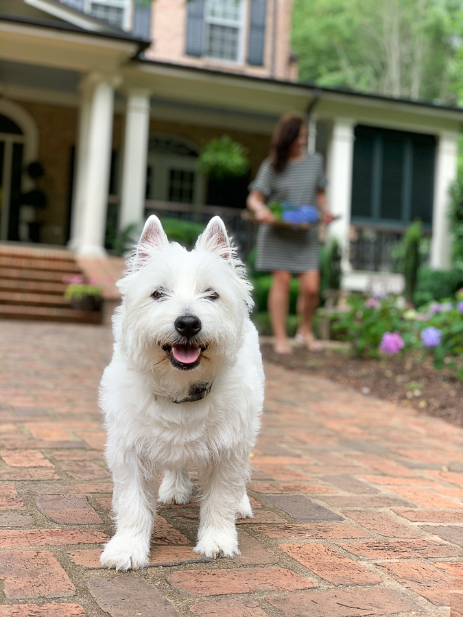 westie walking on brick path