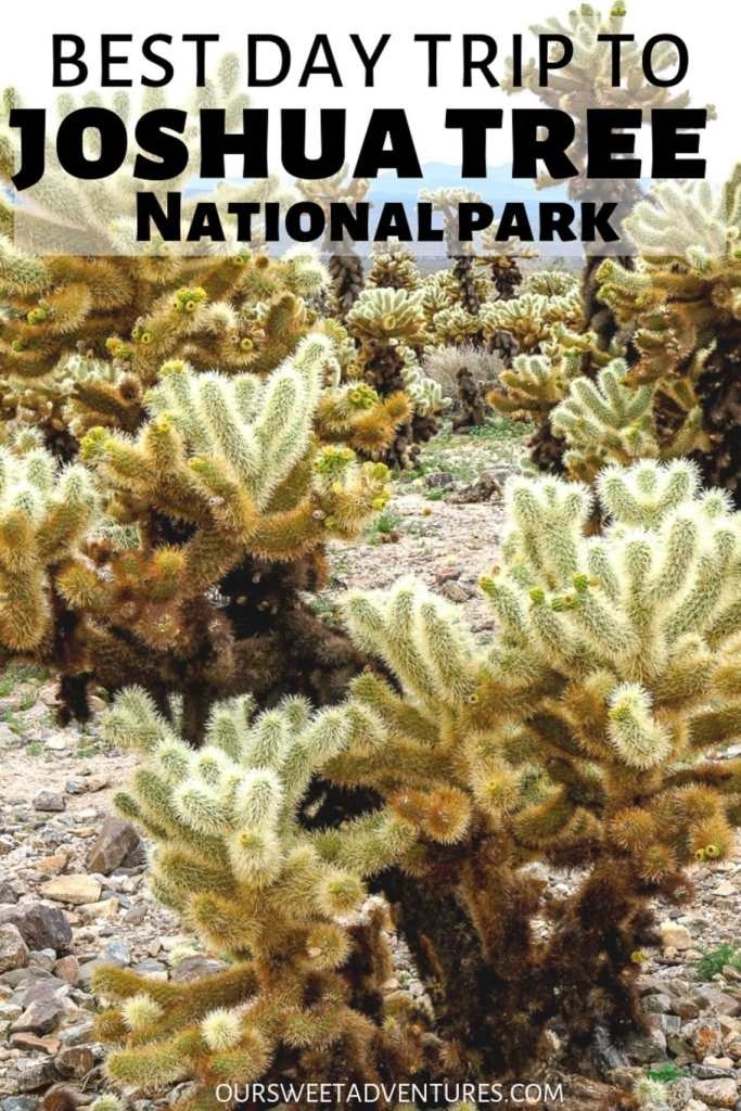 "Close up photo of cholla cactus with text overlay ""Best Day Trip to Joshua Tree National Park""."