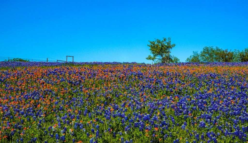 A vast field full of red wildflowers and the Texas bluebonnet.