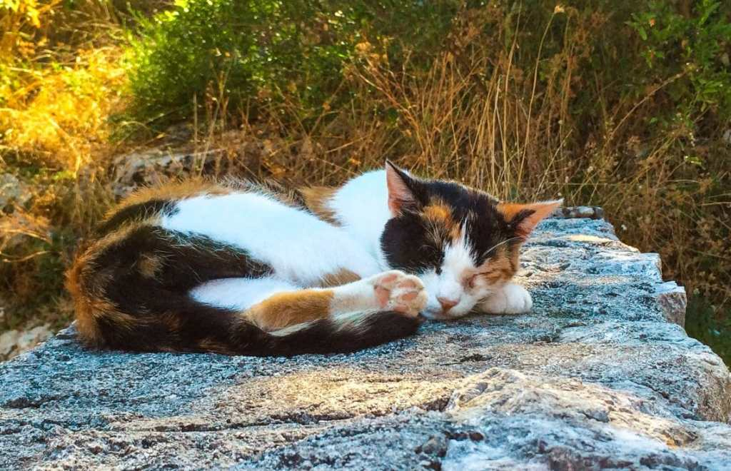 A calico cat with the colors white, black and orange sleeping on a stone wall in Kotor.