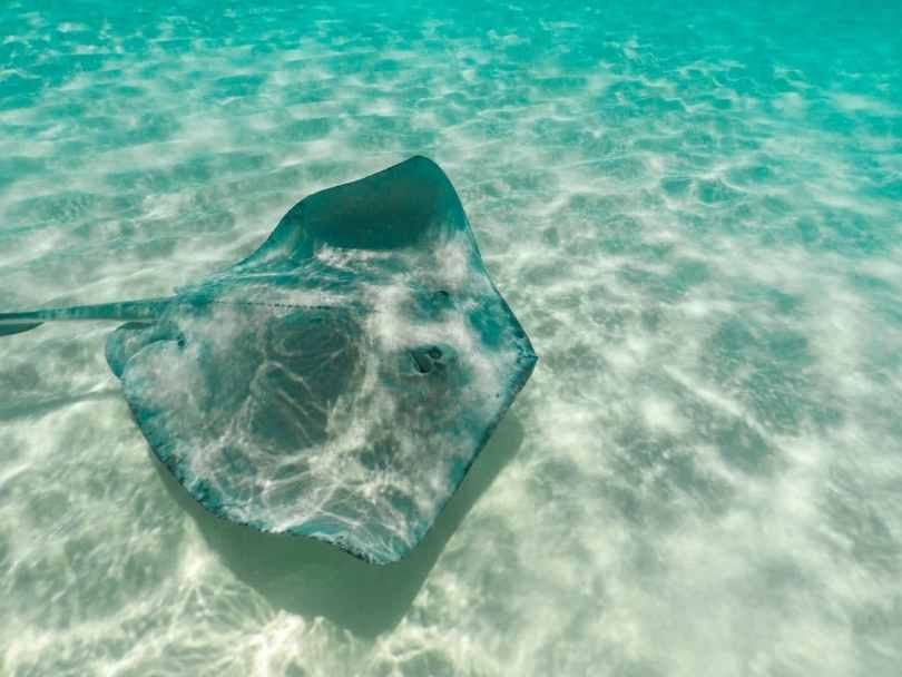A female stingray swimming on the shallow waters of the Grand Cayman.