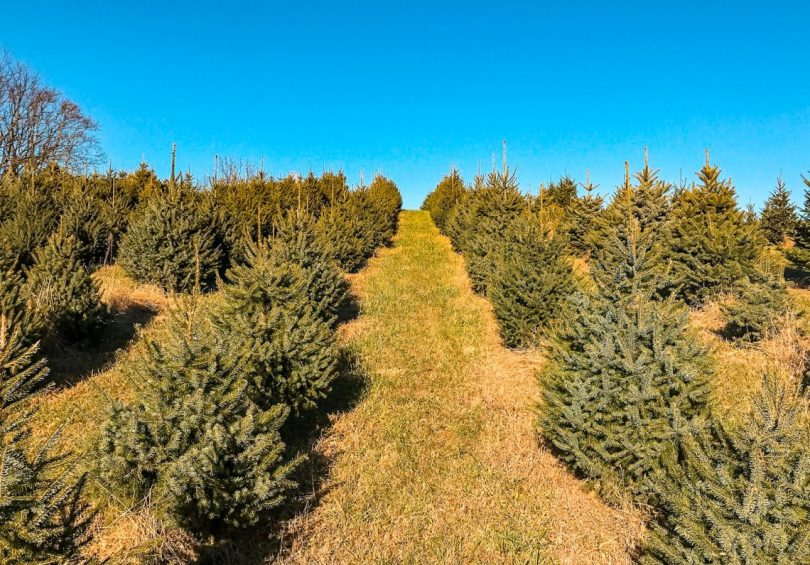 A row of Christmas trees on a sunny day on Hanks Christmas Tree Farm in Virginia.