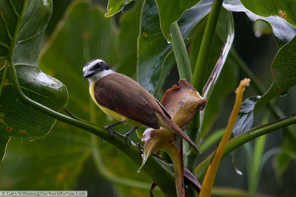 A Great Kiskadee - a fly catcher, whose attention I have caught.