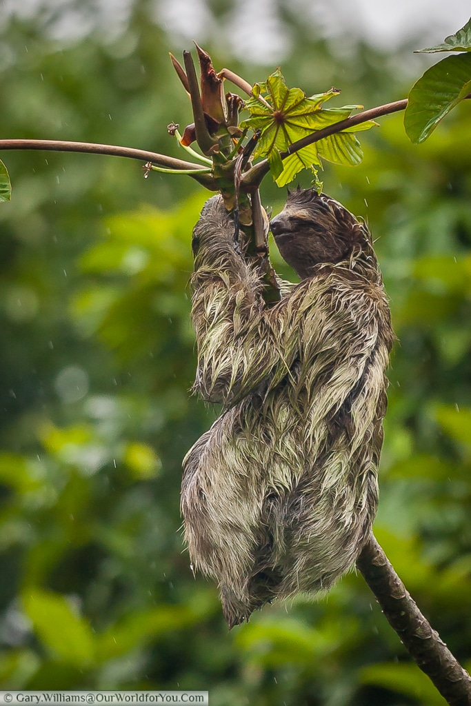 Time waits for no-man, and this Sloth has to eat to survive, regardless of the weather.