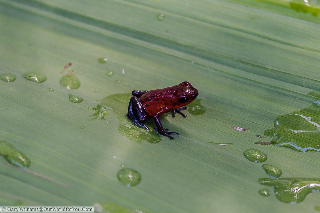 a tiny Blue-jeans Frog or Strawberry Poison-dart Frog.