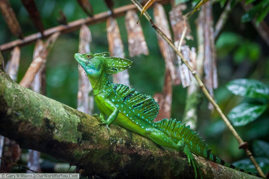 A Jesus Christ Lizard (Green Basilisk) pearched on a tree trunck in Tortuguero.