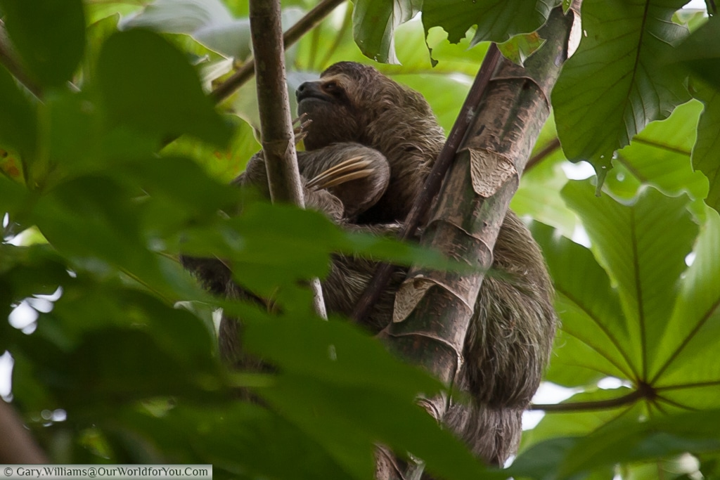 Our first sighting of a sloth in Costa Rica.