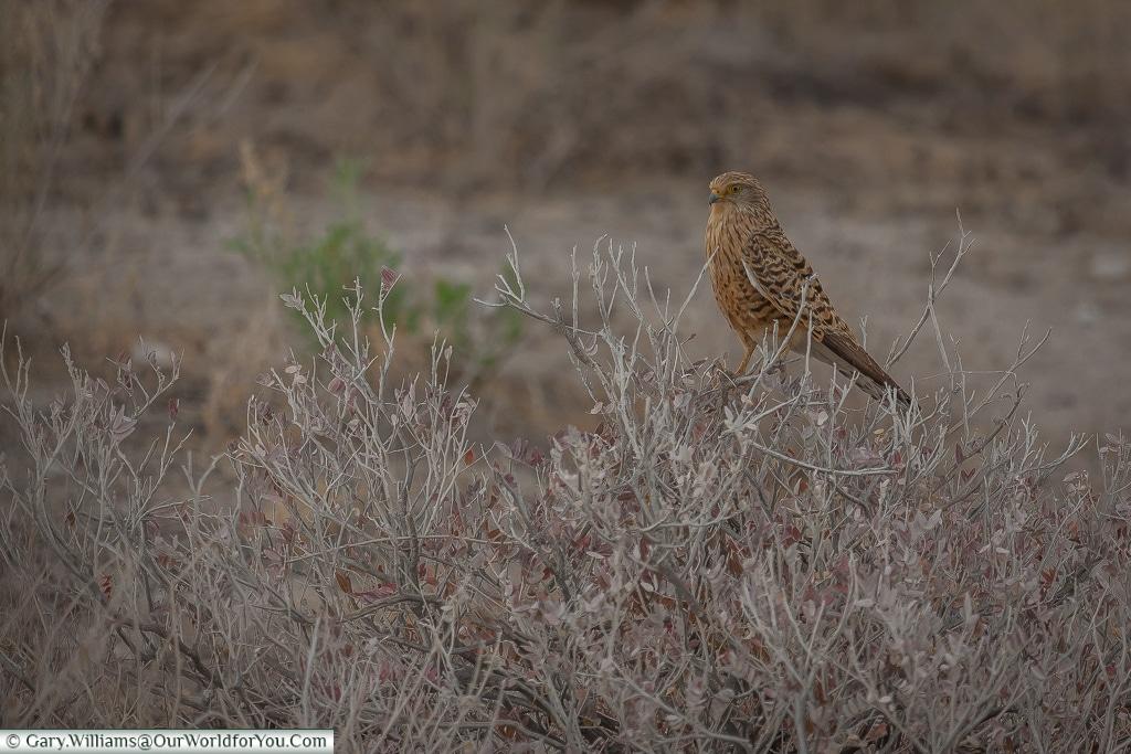 A greater kestrel, Etosha, Namibia