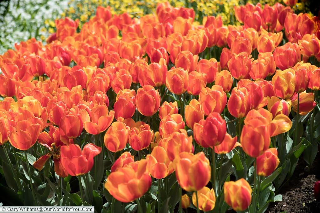 Dutch Orange, Keukenhof, Holland, Netherlands