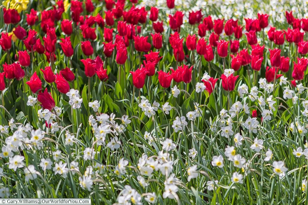 Red and white bedfellows, Keukenhof, Holland, Netherlands