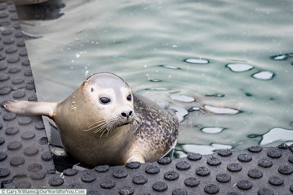 A seal at Búðardalur harbour. Iceland