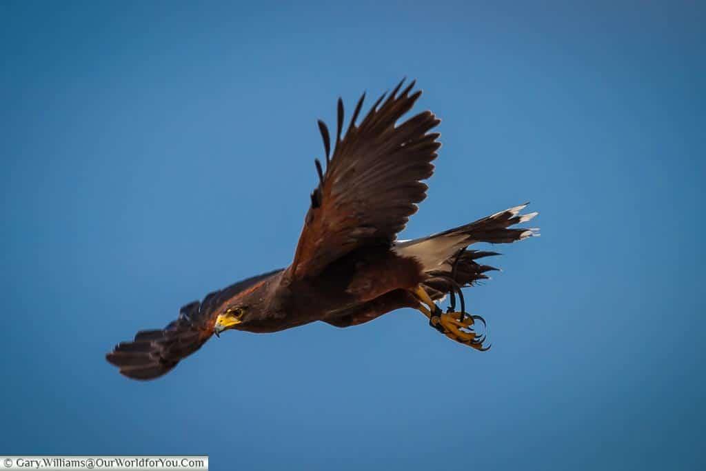 Bird of Prey in flight, Kent County Show, Kent, England, UK