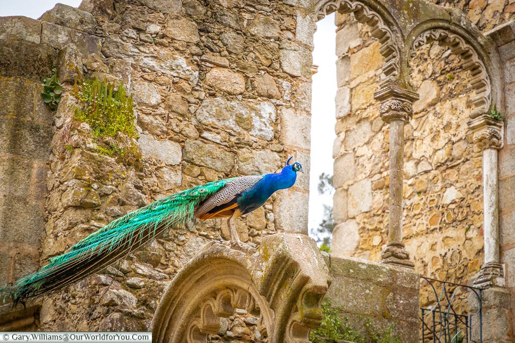 A peacock in the Ruínas Fingidas, Évora, Portugal