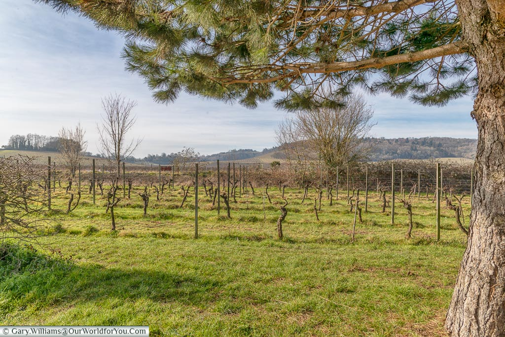 The vineyards of Denbies Wine Estate, Dorking, Surrey, England, UK