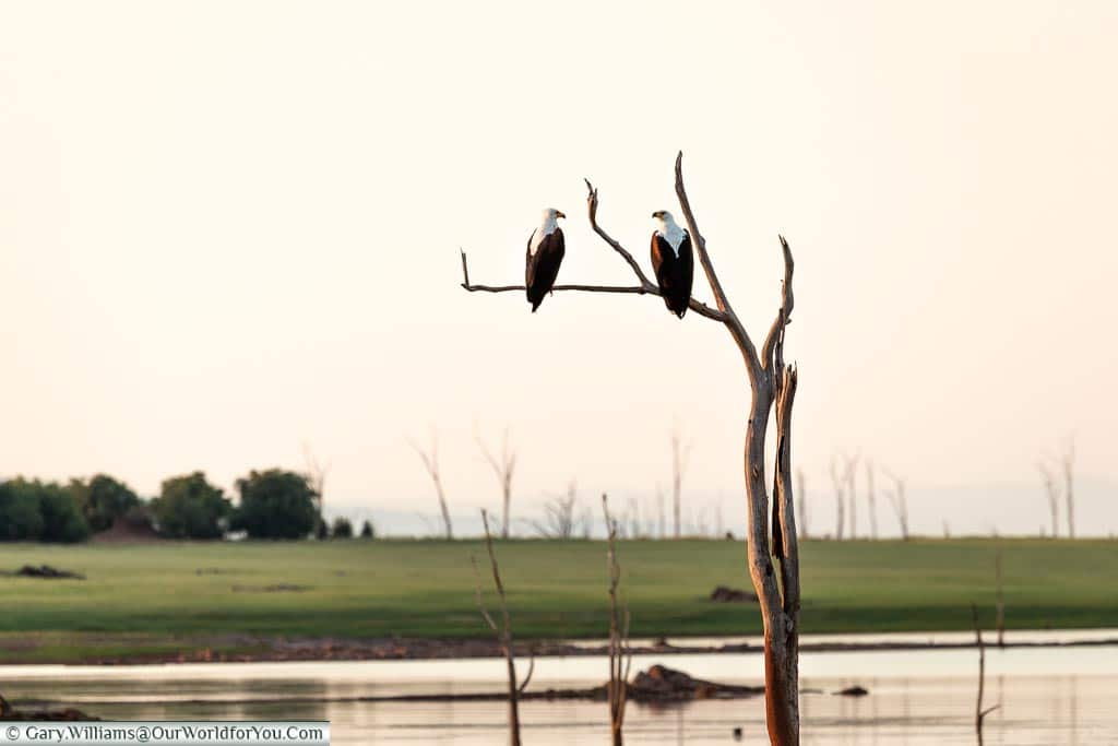 A pair of Fish Eagles, Sundown safari drive, Rhino Safari Camp, Lake Kariba, Zimbabwe