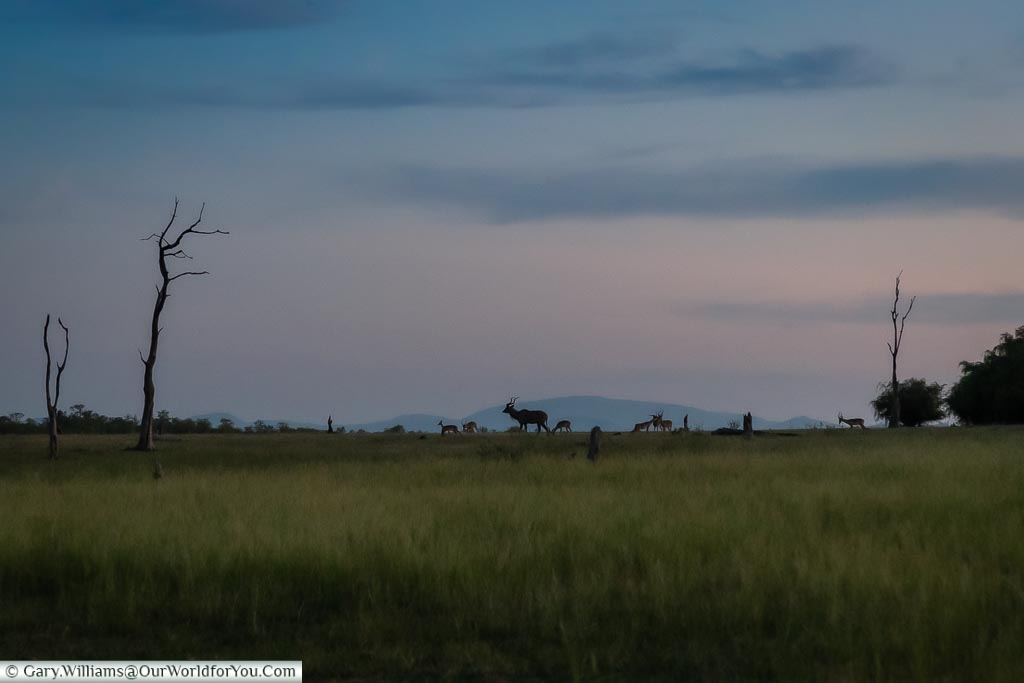 Antelopes at Sundown, Sundown safari drive, Rhino Safari Camp, Lake Kariba, Zimbabwe