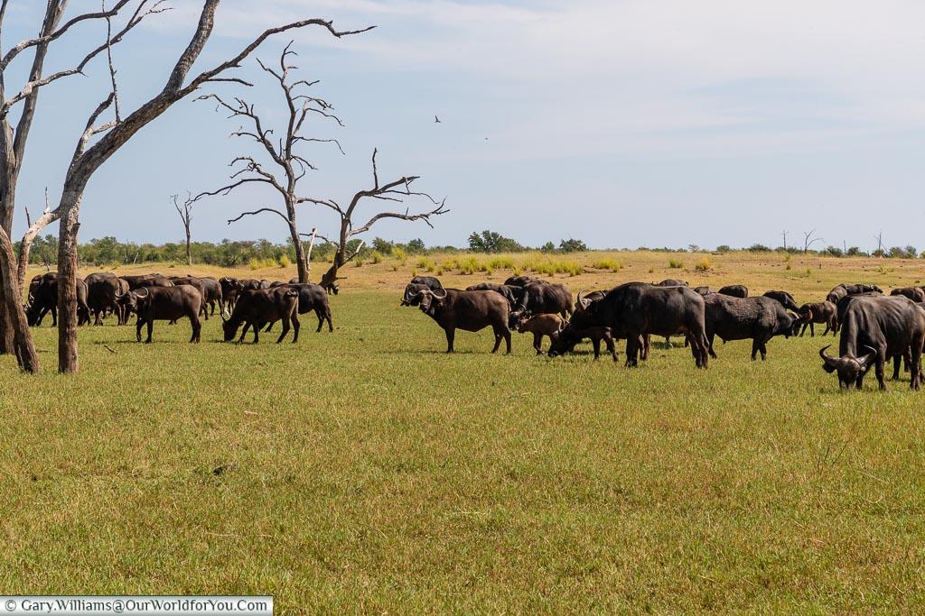 Buffalo from the truck, Bush Walk, Rhino Safari Camp, Lake Kariba, Zimbabwe