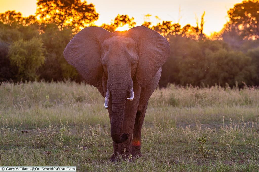 Elephant at sunset, Sundown safari drive, Rhino Safari Camp, Lake Kariba, Zimbabwe