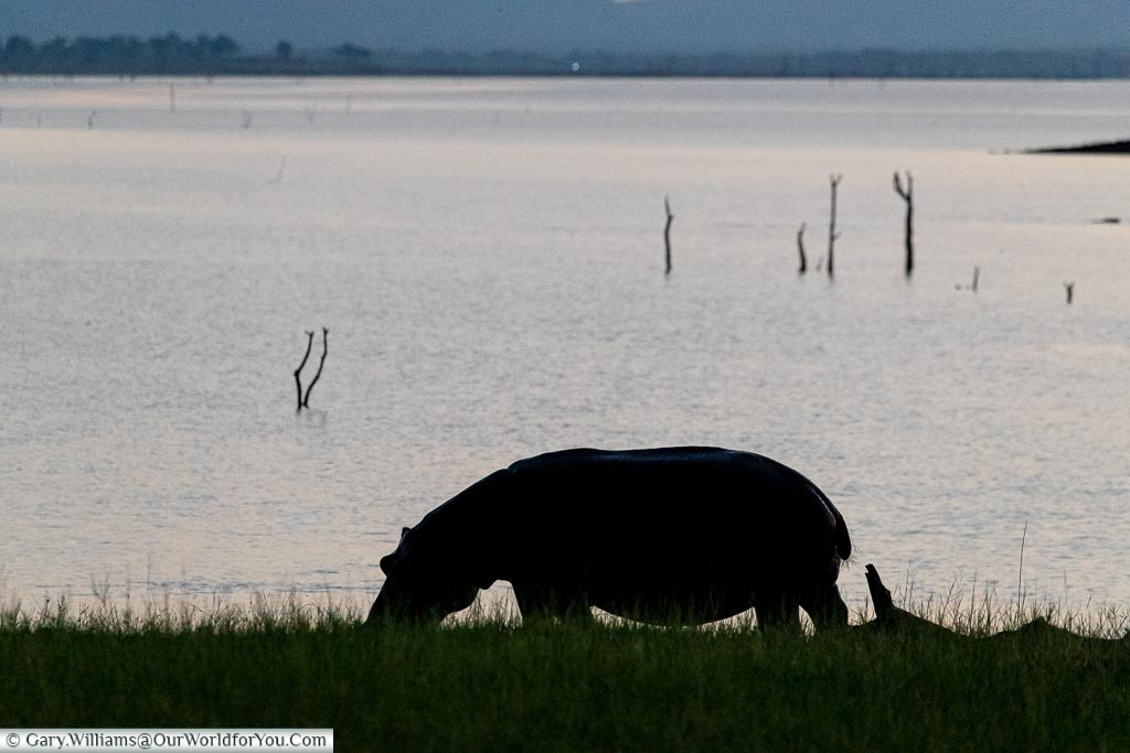 Hippo grazing at dusk, Sundown safari drive, Rhino Safari Camp, Lake Kariba, Zimbabwe