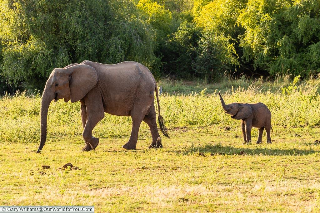 Wait for me!, Rhino Safari Camp, Lake Kariba, Zimbabwe