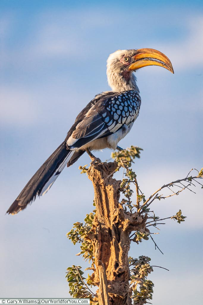 A hornbill perched on top of a stump illuminated by the evening sun.